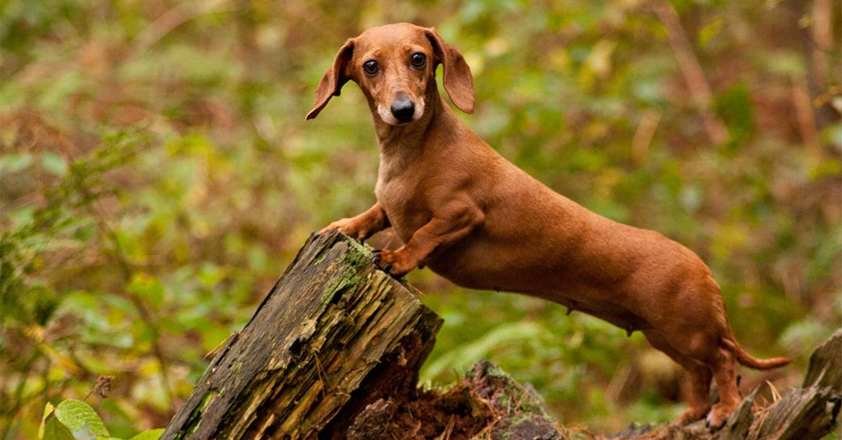 Dachshund a German hund
