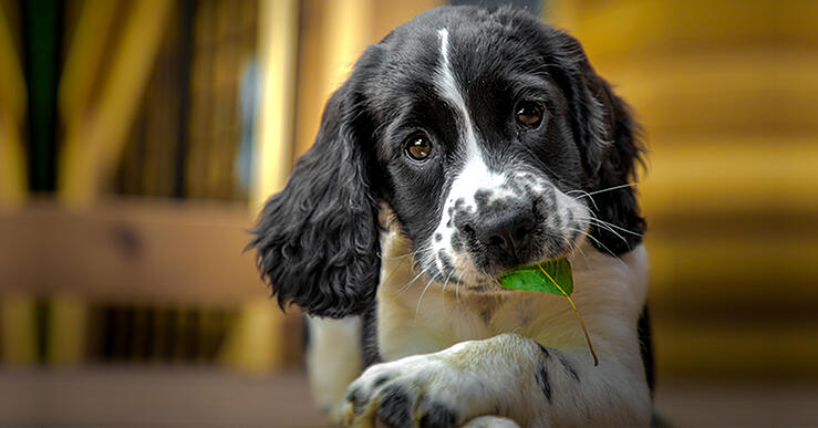 VetHelpline dog with leaf in mouth-1