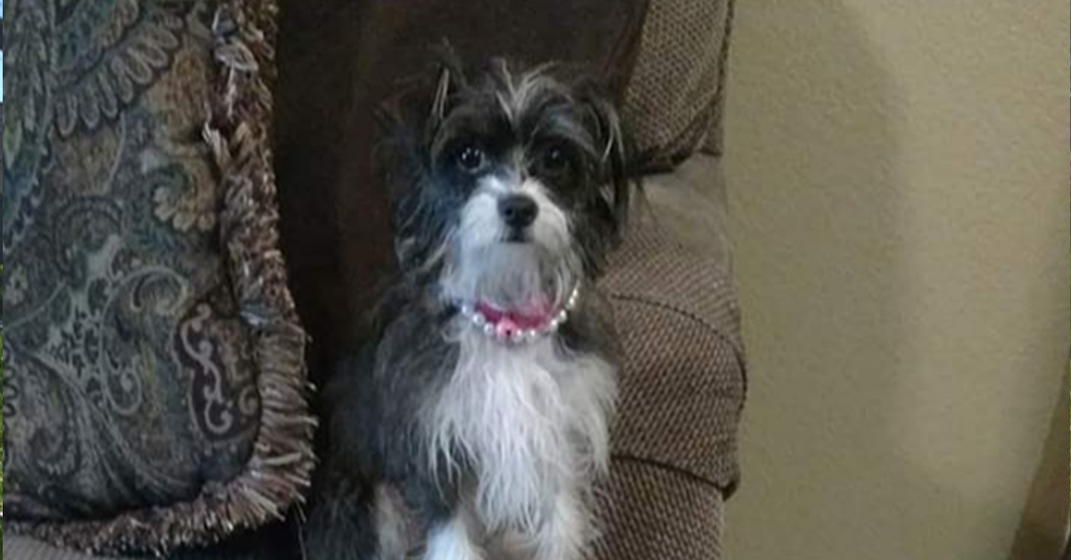 Zoey Morkie rescue dog